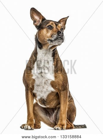 Crossbreed dog between a french Bulldog and a Rottweiller isolated on white