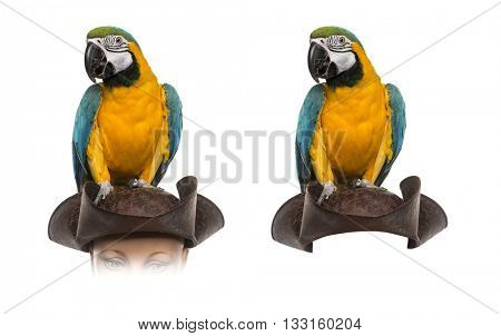 Blue-and-gold Macaw on a pirate hat, isolated on white