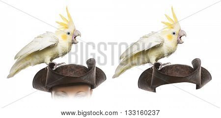 Yellow-crested Cockatoo on a pirate hat, isolated on white