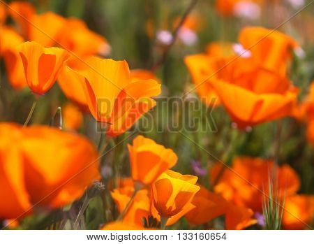 Beautiful California poppies with blurred foreground and glowing orange color growing in field.