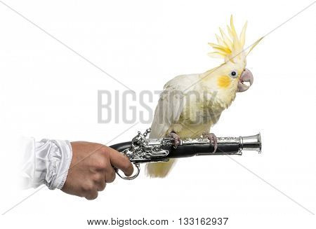 Yellow-crested Cockatoo perched on a pirate gun, isolated on white