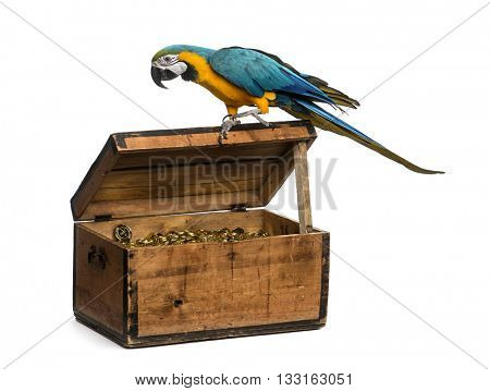 Blue-and-gold Macaw on a pirate chest, isolated on white