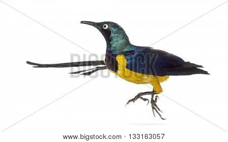 Golden Breasted Starling, Lamprotornis Regius, flying of isolated on white