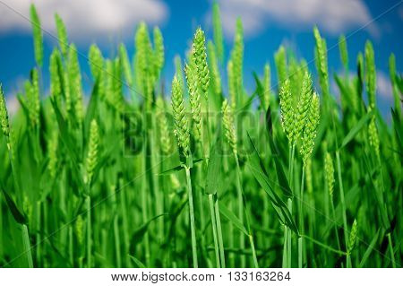 agriculture Green wheat on blue sky background