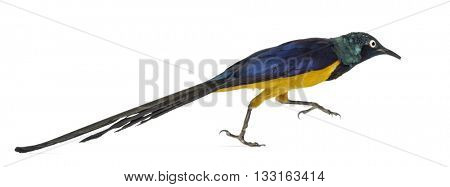 Golden Breasted Starling running, Lamprotornis Regius, isolated on white