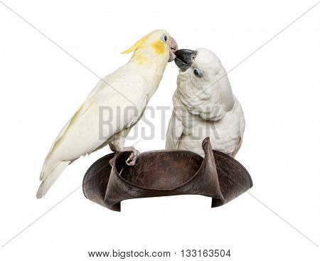 Yellow-crested Cockatoo and White Cockatoo on a pirate hat, isolated on white