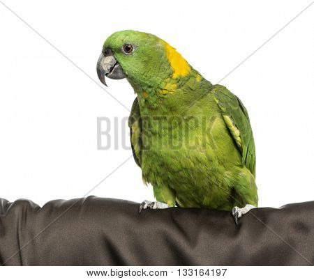 Yellow-crowned Amazon isolated on white