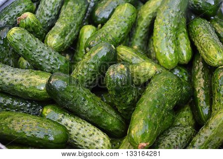 Cucumbers in summer. Fresh wet pickle cucumbers ready for canning. Real organic excellent cucumbers in countryside.
