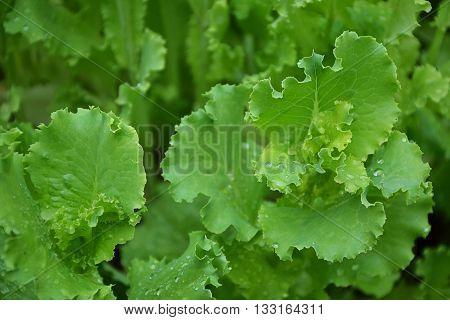 Lettuce Salad Green Leaves Countryside Garden Summer 4