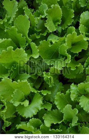 Lettuce salad in the countryside garden. Green salad leaves. Young lettuce salad plant. Herb plant in the yard. Organic natural agriculture in the village.