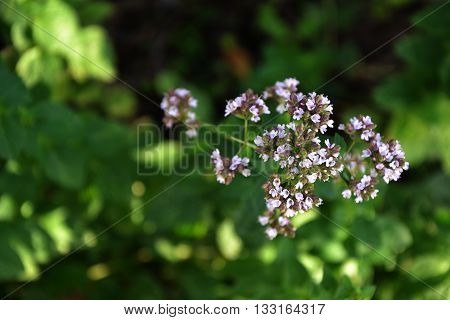 Oregano Blossom In The Countryside Garden Summer 1