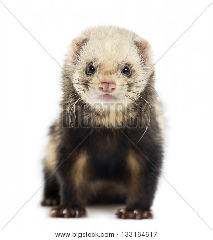 Ferret looking at the camera and sitting, isolated on white