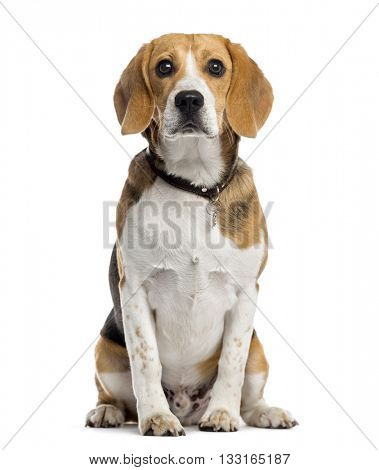 Beagle puppy looking at the camera and sitting, isolated on white