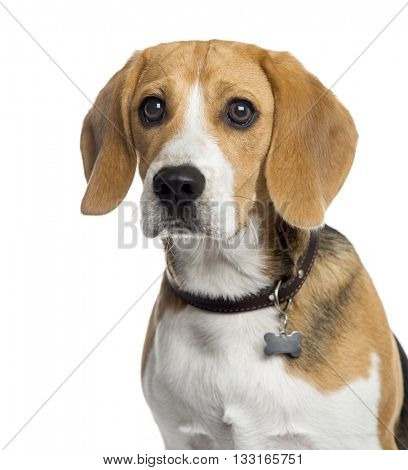 Close-up of a Beagle puppy looking away, isolated on white
