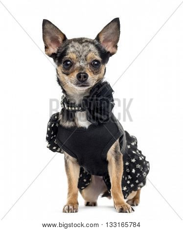 Chihuahua wearing a fancy dress, looking at the camera and sitting, isolated on white