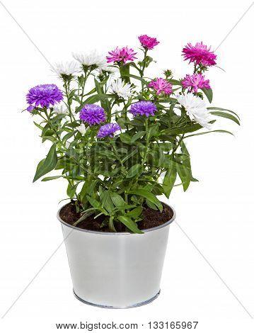 Bouquet Of Aster Flowers In A Silver Metal Floerpot
