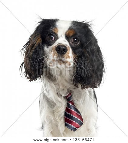 Close-up of a Cavalier King Charles Spaniel wearing a bow, looking at the camera, isolated on white