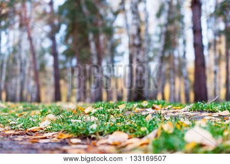 Autumn Forest, Yellow Carpet Of Fallen Leaves And Green Grass.