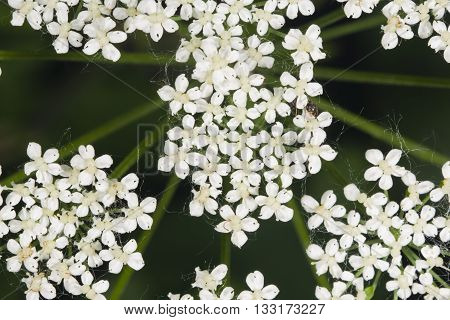 Aegopodium podagraria bishop's weed flower macro selective focus