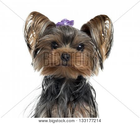 Close-up of a Yorkshire Terrier looking at the camera, isolated on white