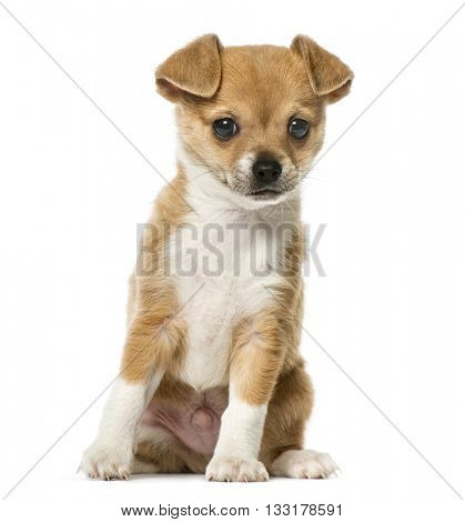 Chihuahua puppy sitting and looking away, isolated on white