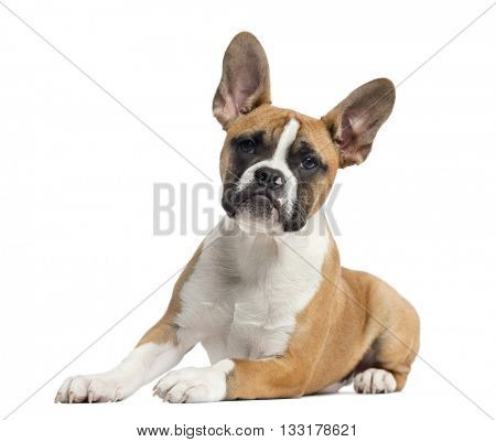 French Bulldog puppy looking at the camera, lying down and isolated on white