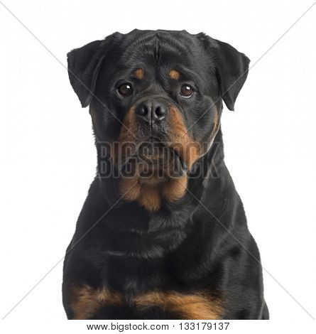 Close up of a Rottweiler looking at the camera, isolated on white