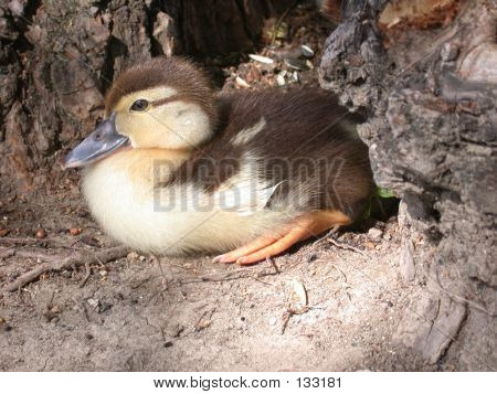 Duck In The Wood