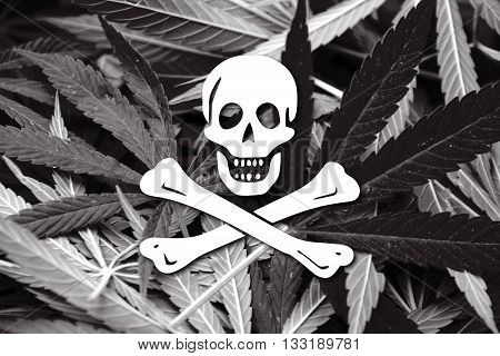The Traditional Jolly Roger Of Piracy Flag, On Cannabis Background