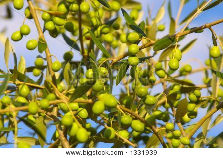 Olives In The Sun