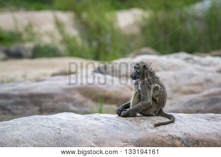 Specie Papio ursinus family of Cercopithecidae, mother baboon and its baby on a rock, Kruger park
