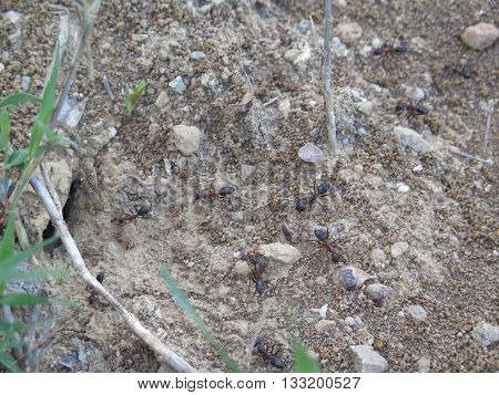 Large Ants on rough ground in Andalusia Spain