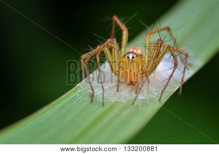 a yellow Lynx spider guarding its eggs