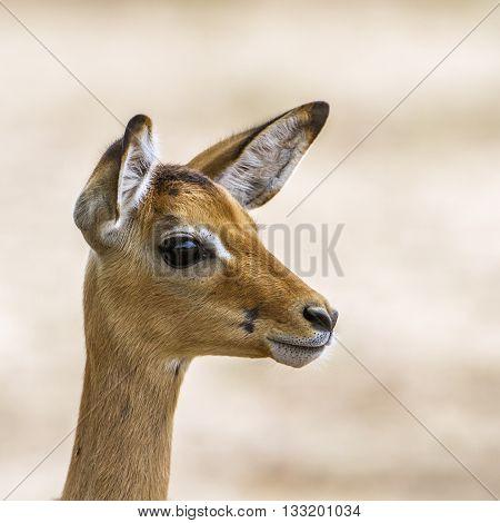 Specie Aepyceros melampus family of bovidae, young impala in savannah