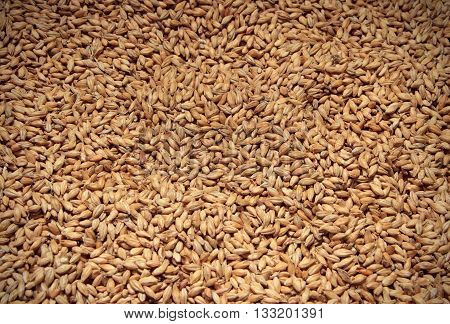 Malt background. Ingredient for beer. close up