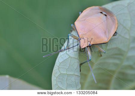 close up / macro shot of a Shield Bug