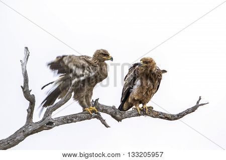 Specie Aquila rapax family of Accipitridae, two tawny eagles on a branch in kruger park, white background