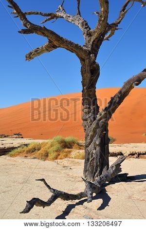 Deadvlei, Sossusvlei. Namib-naukluft National Park, Namibia