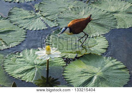 Specie Actophilornis africanus family of Jacanidae, african jacana in lotus flowers, Kruger Park