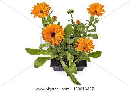 Four marigold flowers, Calendula Officinalis, with leaves in flowerpot isolated on white