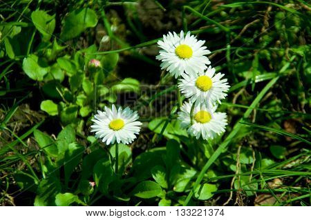 Four wild camomile on the green grass
