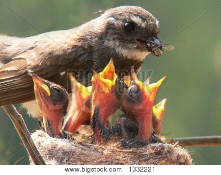 Grey Fantail Mother