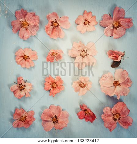 Pink Flowers Dog-rose On Blue Background. Flat Lay.