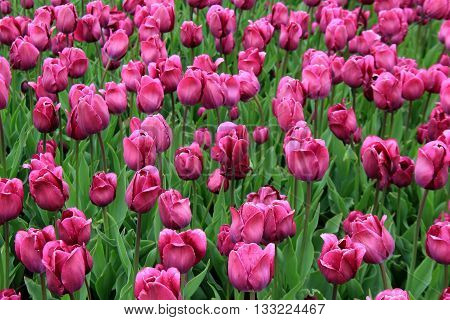 Stunning view of bright purple tulips in Springtime garden.