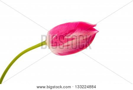 One pink flower beauty isolated on white