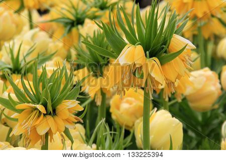 Gorgeous landscape of Yellow Crown Imperial tulips in Springtime garden.