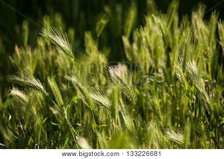 Spikelets in the grass at sunrise. Grass in sun. Natural floral background