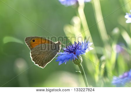 Butterfly Dusky Meadow Brown (Hyponephele lycaon) on a flowered cornflower against sunlight. soft focus shallow DOF.