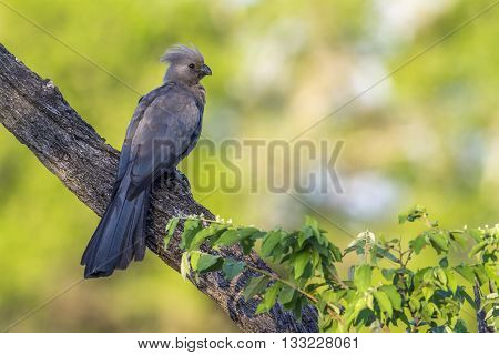 Specie Corythaixoides concolor family of Musophagidae, gray lourie, gray go-away bird in Kruger Park, South Africa