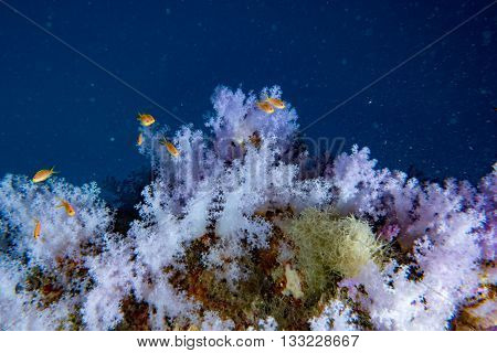 Alcyonarian Soft Coral Wall Underwater Landscape Panorama